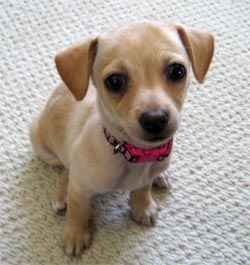 chihuahua and dachshund mix - group picture, image by tag ...